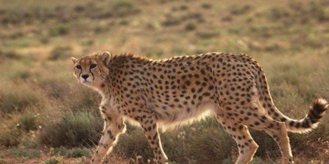 چتر پوشش اینترنت برای حفاظت از یوزپلنگها در استان سمنان